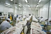 Praca w Szwecji na produkcji rybnej – praca przy rybach, filetowanie, patroszenie