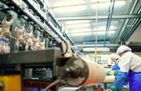 Holandia praca na linii produkcyjnej przy filetowaniu mięsa drobiowego