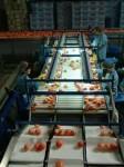 Praca Holandia na produkcji przy sortowaniu owoców i warzyw bez języka