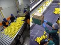 Anglia praca na linii produkcyjnej przy sortowaniu owoców w Worcester